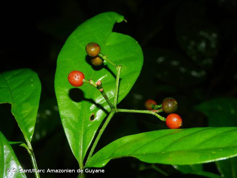 Psychotria perferruginea