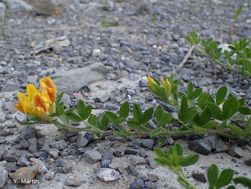 Cytisus lotoides