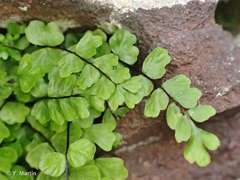 Asplenium trichomanes subsp. pachyrachis