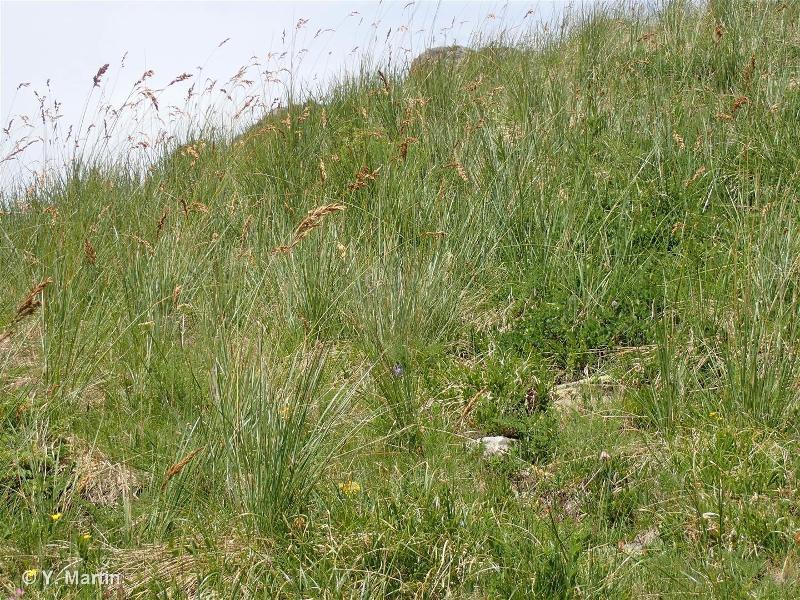 36.3312 - Pelouses mésophiles des sols profonds à Festuca paniculata - CORINE biotopes