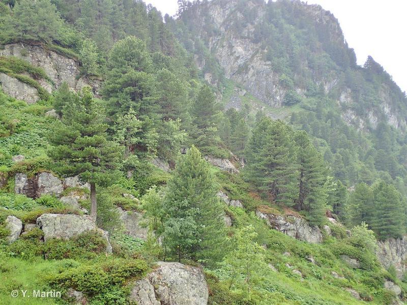 42.33 - Forêts occidentales de Mélèzes, de Pins de montagne et d'Arolles - CORINE biotopes