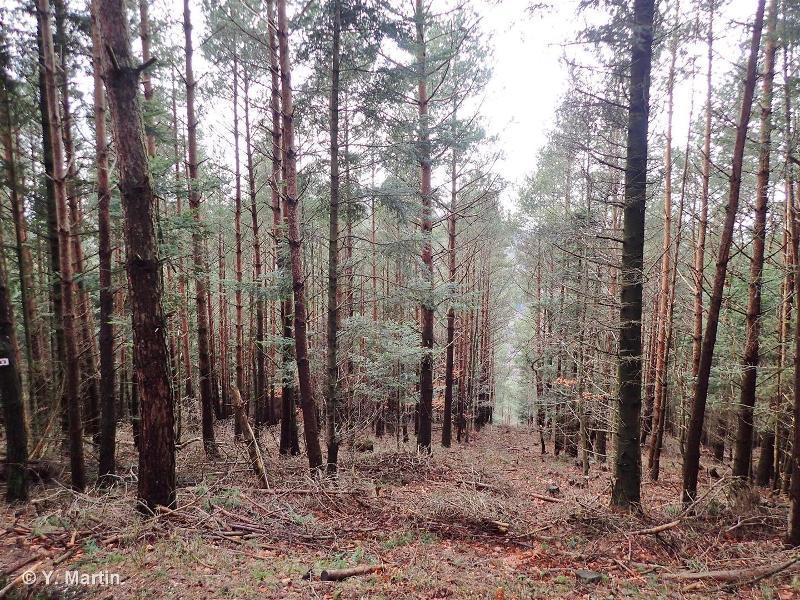 83.3112 - Plantations de Pins européens - CORINE biotopes