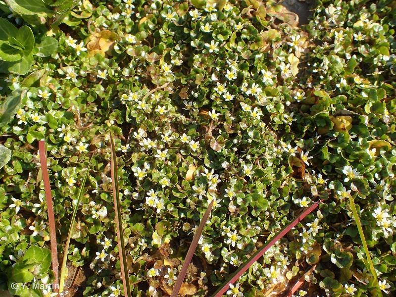 Ranunculus hederaceus