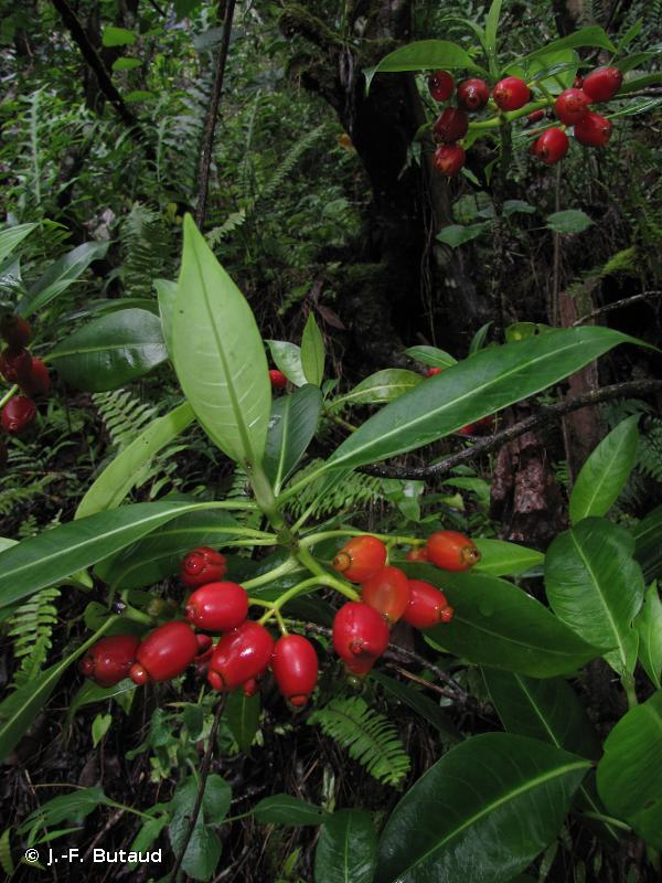 Psychotria schaeferi