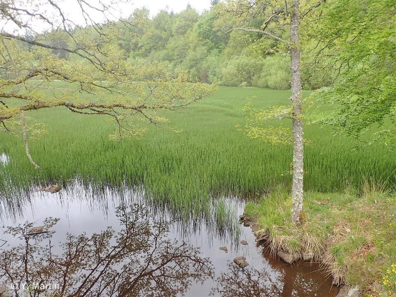 53.14 - Roselières basses - CORINE biotopes