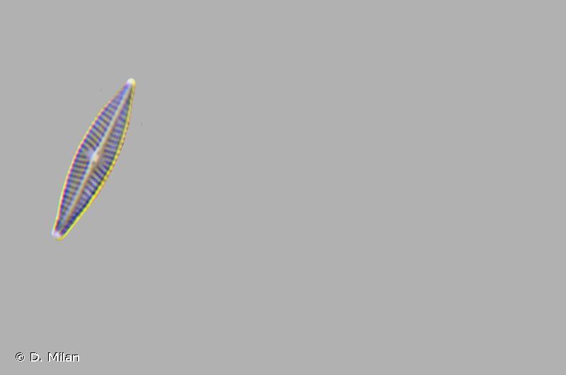 Navicula cryptotenella