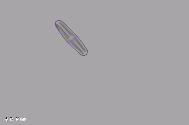 Sellaphora pupula