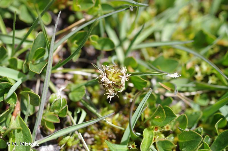 Carex maritima