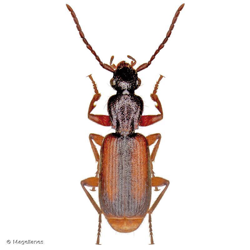 Polistichus connexus