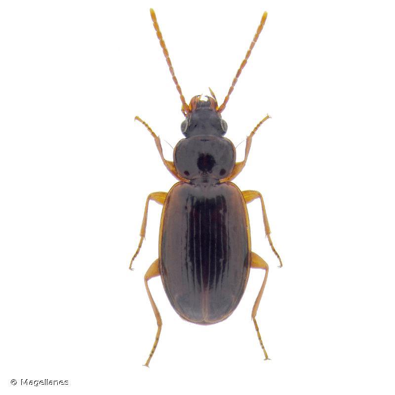 Trechus quadristriatus