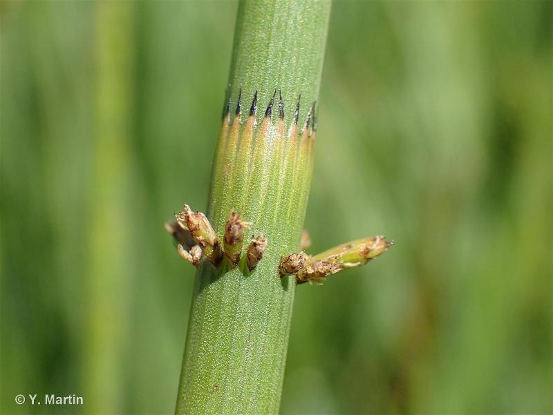 Equisetum fluviatile