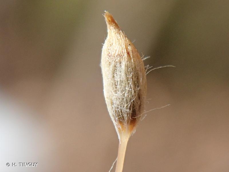 Pogonatum aloides