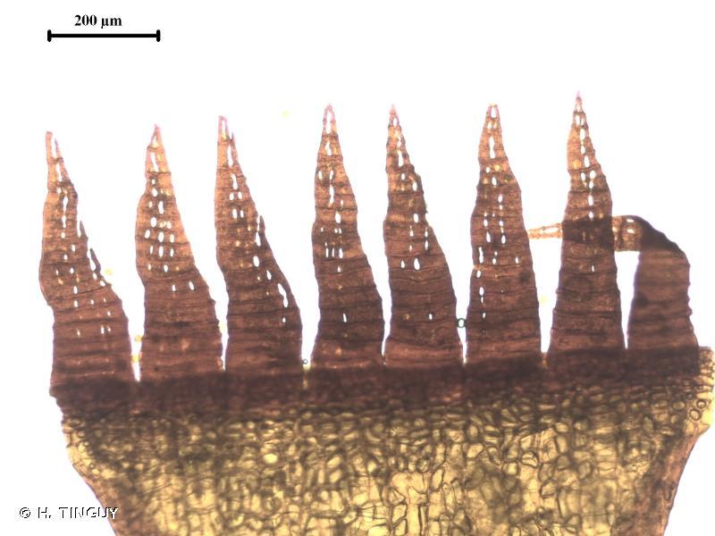 Schistidium rivulare