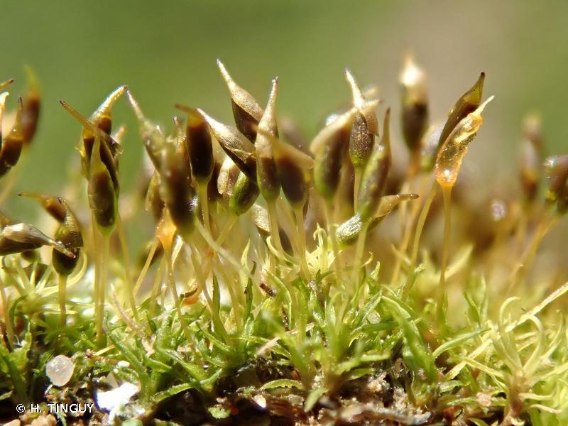 Weissia brachycarpa