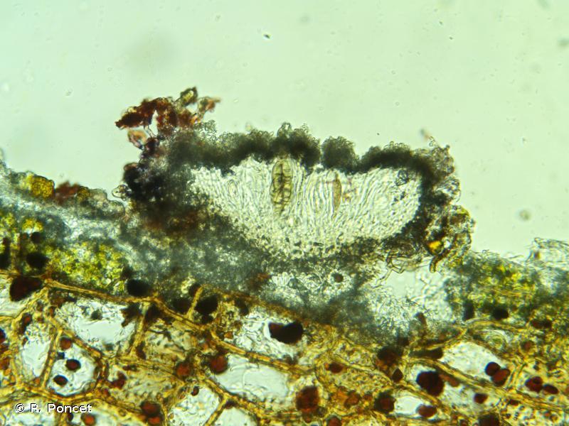 Arthonia cinnabarina