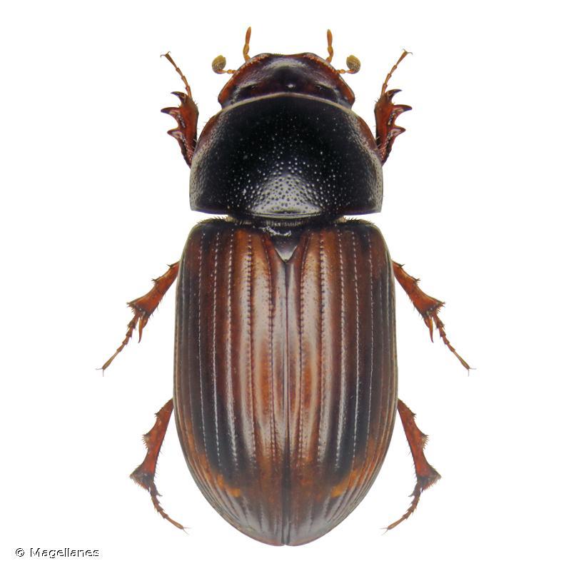 Bodilopsis rufa