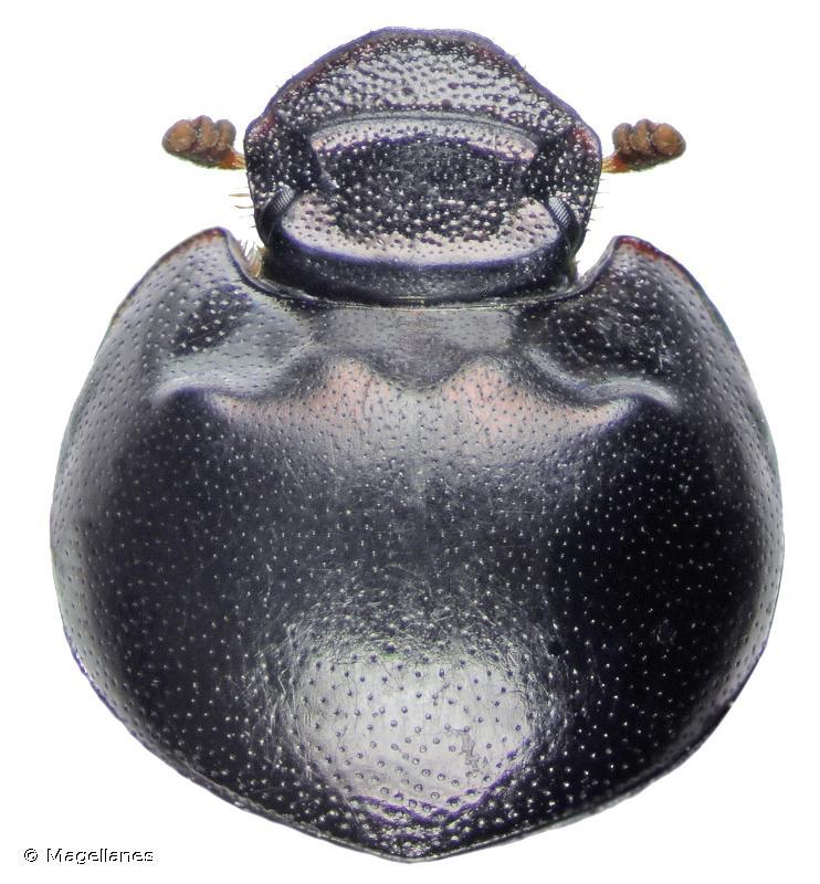 Caccobius schreberi