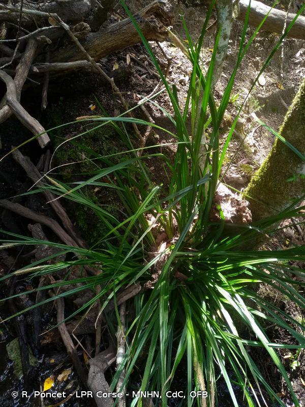 Carex microcarpa