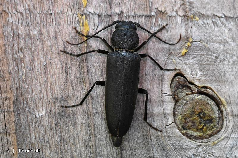 Arhopalus ferus