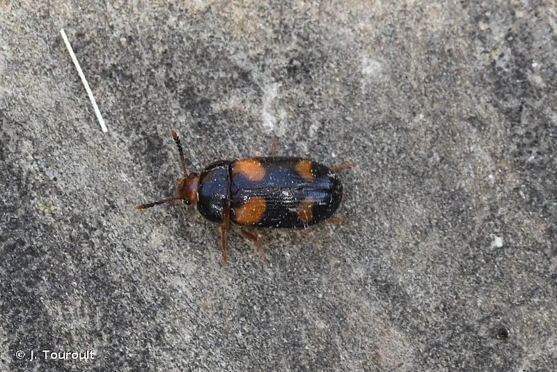 Mycetophagus quadripustulatus