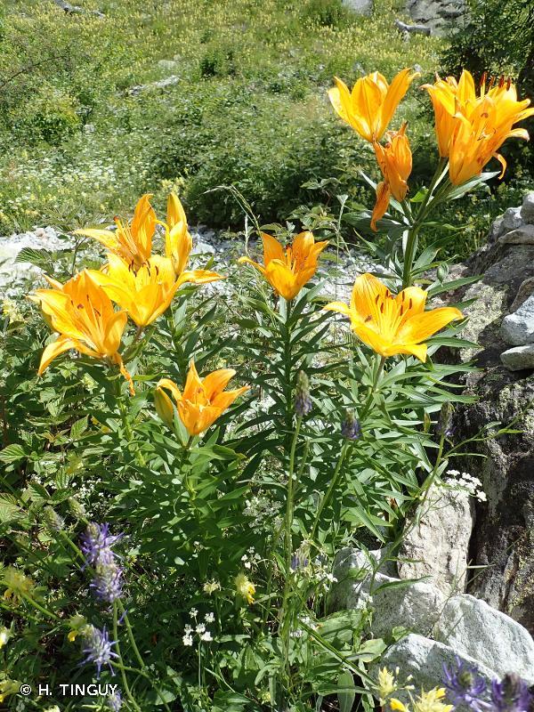 Lilium bulbiferum var. croceum