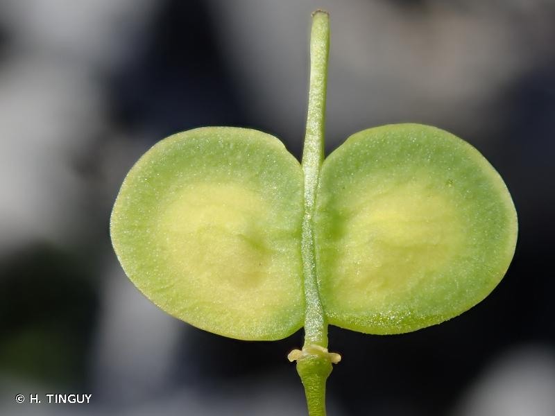 Biscutella brevicaulis