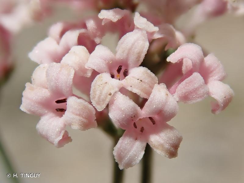 Asperula aristata subsp. oreophila