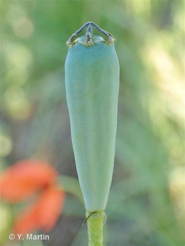 Papaver dubium subsp. lecoqii