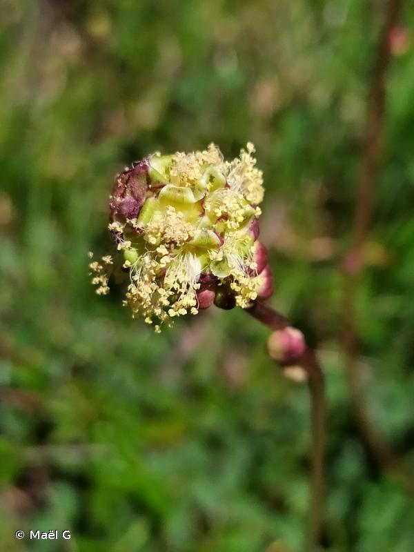 Poterium sanguisorba subsp. sanguisorba