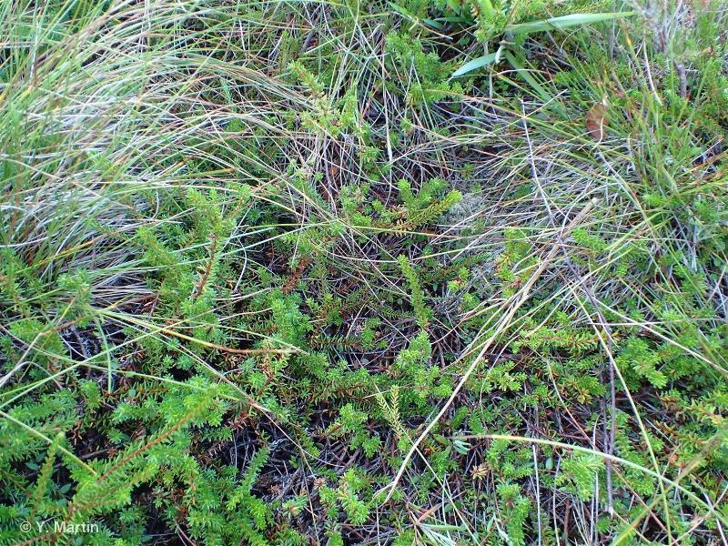 Empetrum nigrum subsp. nigrum