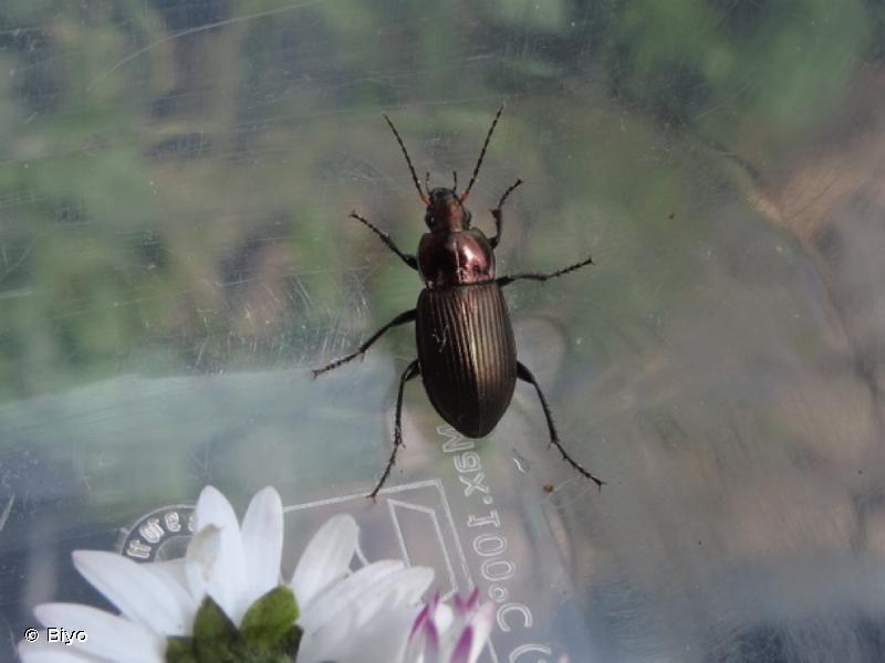 Poecilus cupreus
