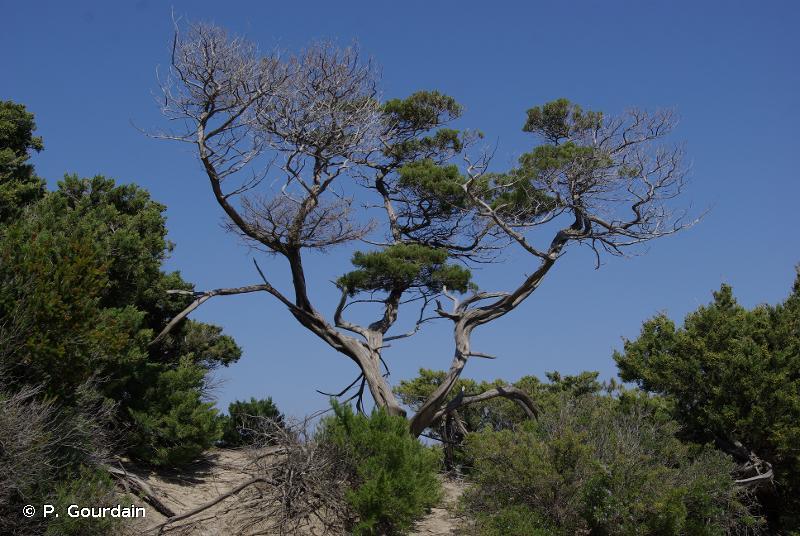 F5 - Maquis, matorrals arborescents et fourrés thermo-méditerranéens - EUNIS