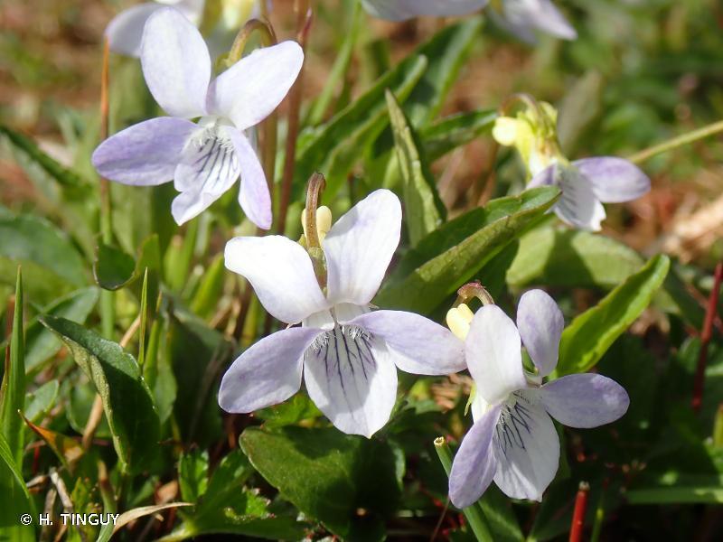 Viola lactea