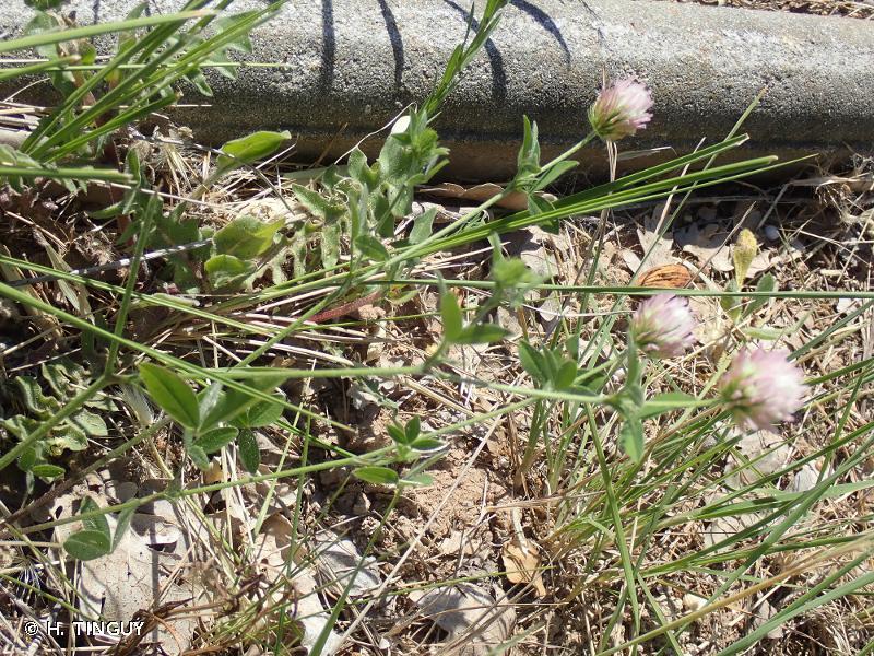 Trifolium echinatum