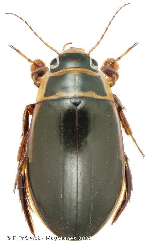 Dytiscus pisanus