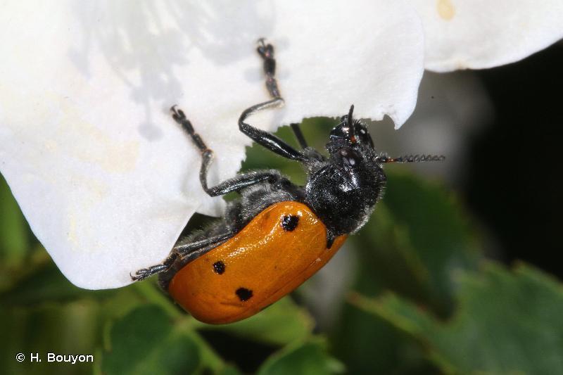 Lachnaia pubescens