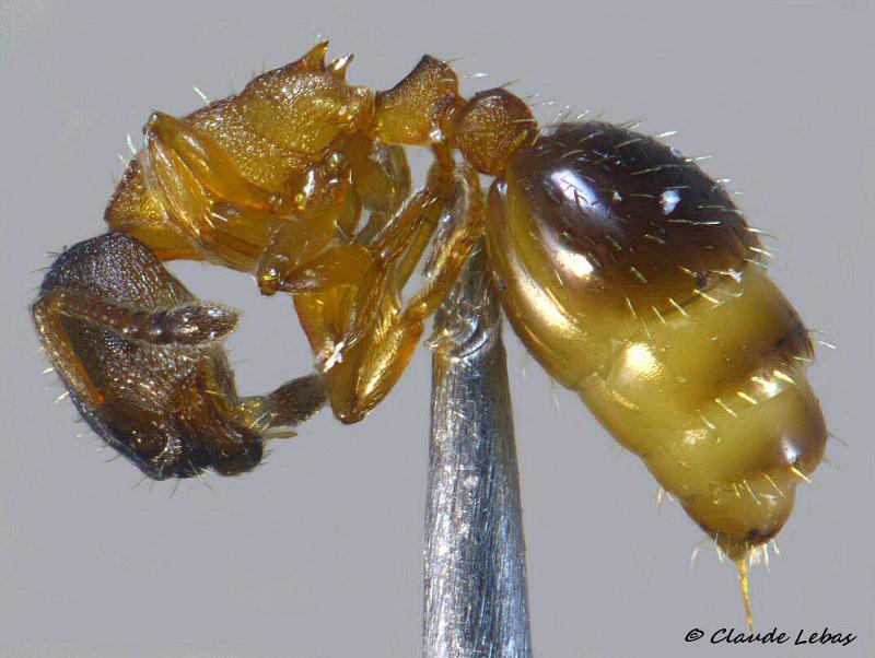 Leptothorax gredleri