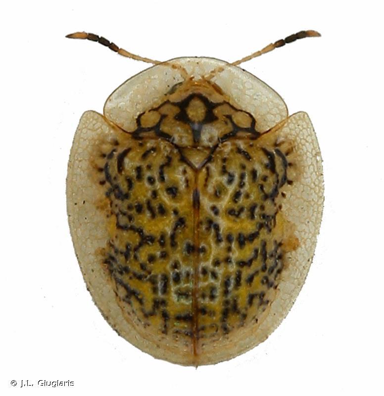 Microctenochira reticularis
