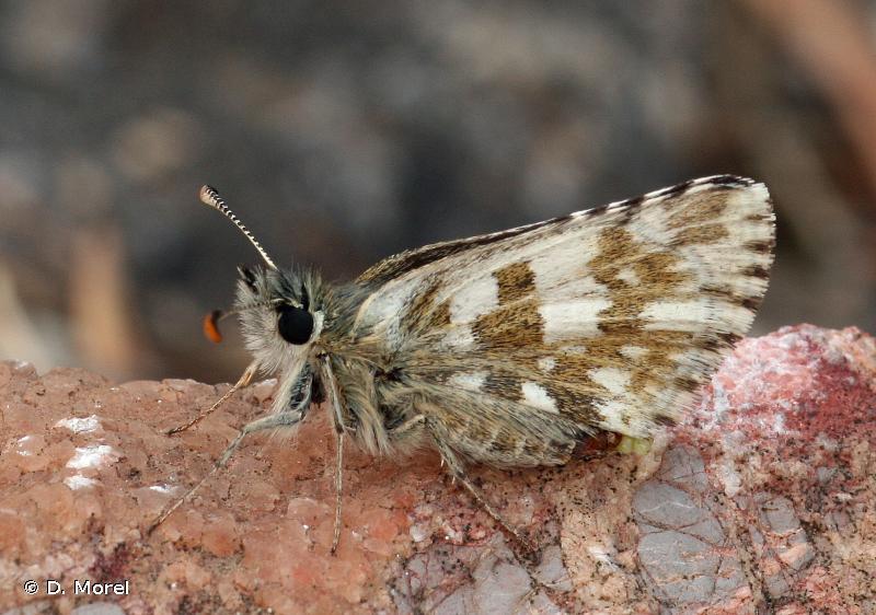 Pyrgus warrenensis