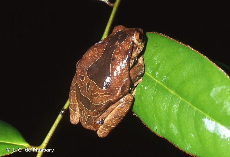 Trachycephalus coriaceus