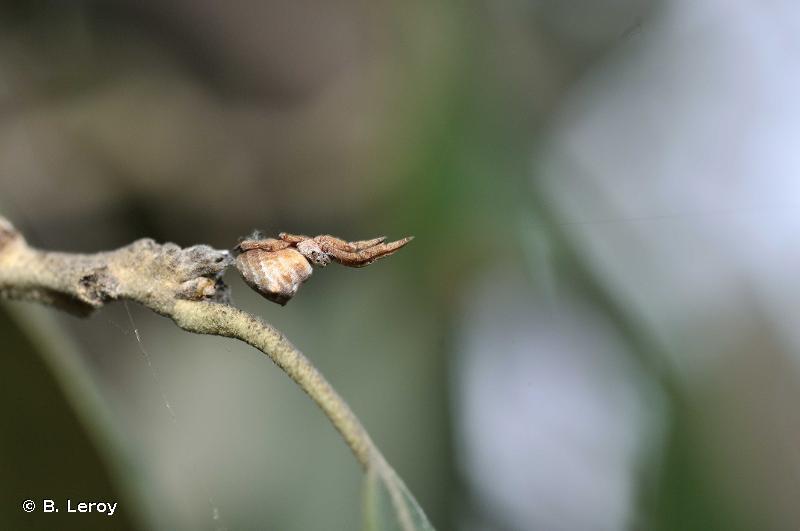Hyptiotes paradoxus