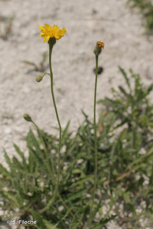 Leontodon hispidus subsp. hyoseroides