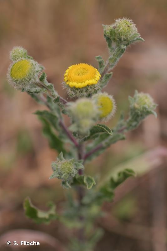 Pulicaria vulgaris