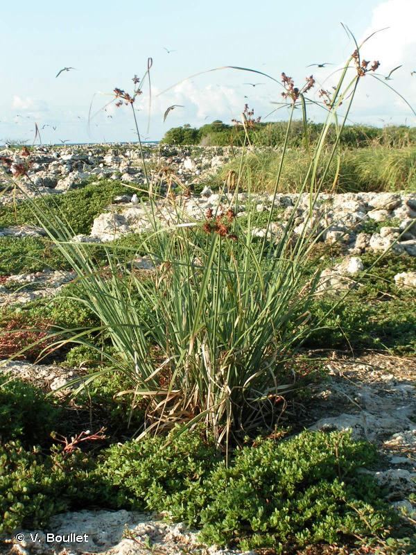 Cyperus ligularis