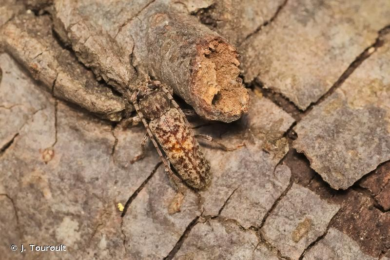 Trichoferus fasciculatus
