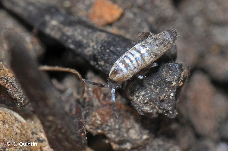 Lepidocyrtus curvicollis