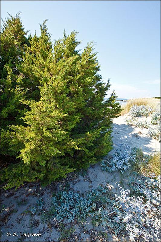B1.63 - Fourrés dunaires à <em>Juniperus</em> - EUNIS
