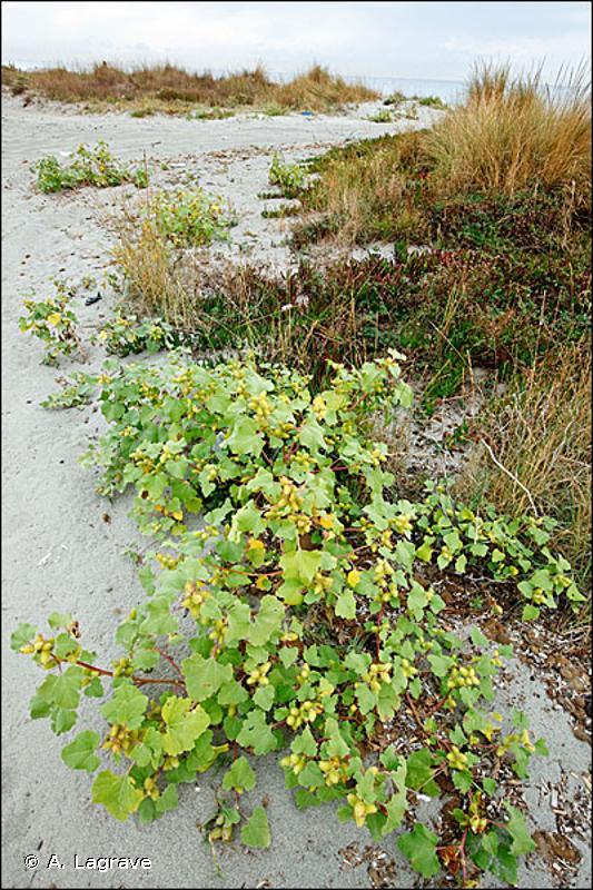 1210 - Végétation annuelle des laisses de mer - Habitats d'intérêt communautaire