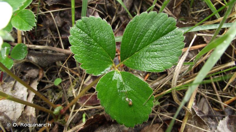 Fragaria viridis