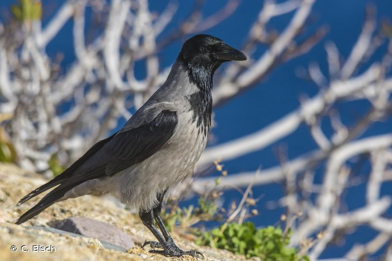Corvus corone